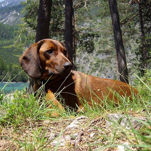 hunting-dog-1303500_960_720